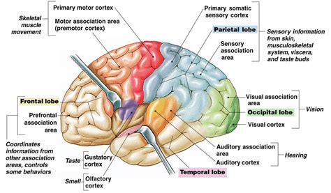 cerebral blood flow motor cortex picture 10