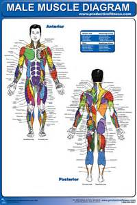 diagram of body muscle picture 1