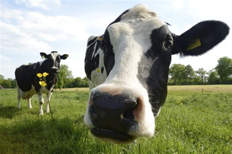 health needs of cows picture 3