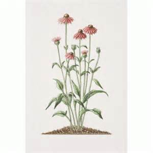 echinacea angustifolia and the liver picture 1
