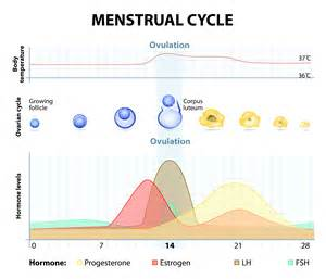 menstrual cycle simulator for men picture 13