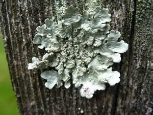 lichen planus fungi picture 6