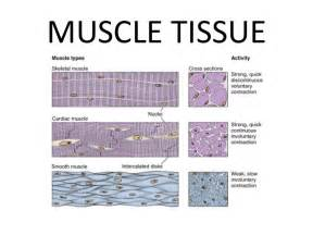 human muscle tissue picture 17