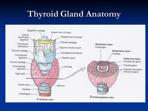 anatomy of the thyroid gland picture 3