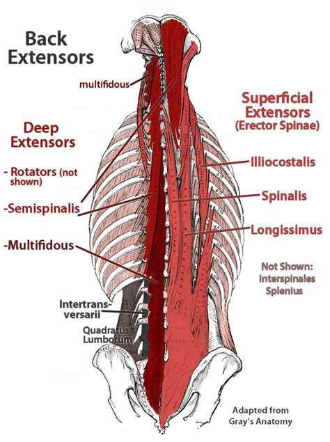 deep back muscle mustavius picture 2
