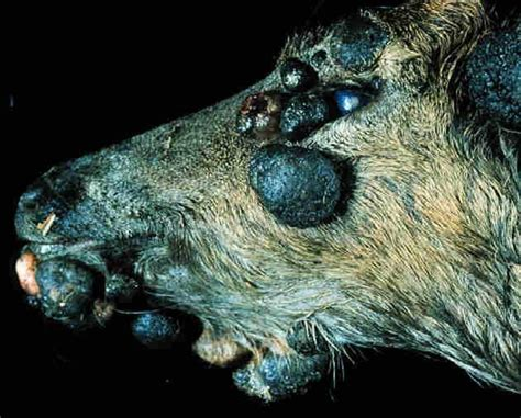 equine ear papillomas picture 7