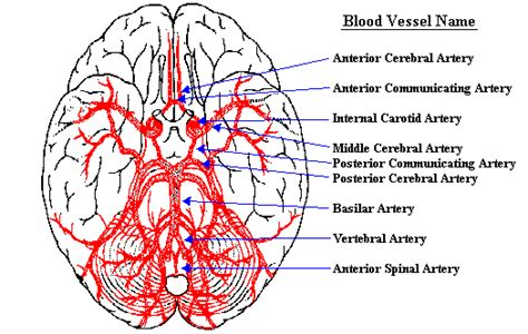 blood flow to the brain picture 14
