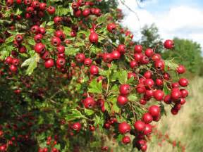 hawthorn berry picture 14