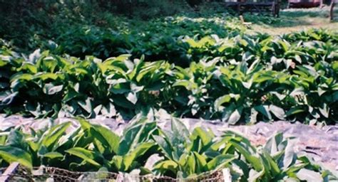 growing comfrey philippines picture 5