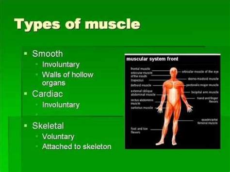 functions of muscle system picture 14