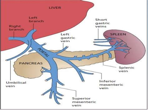 blood flow in the liver picture 7
