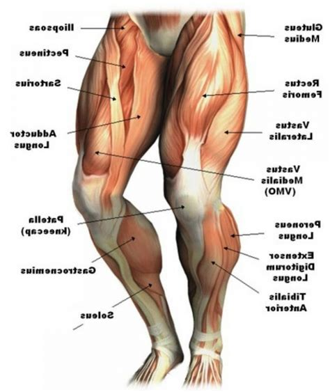 human muscle diagram picture 11