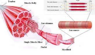 high school anatomy what muscles and joints are picture 7