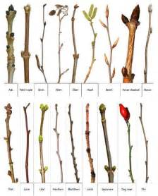 hawthorn tree identification picture 3