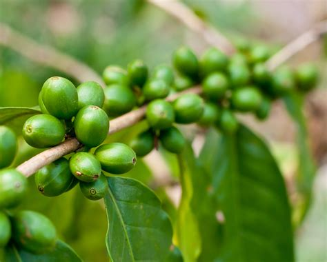 high blood pressure green coffee beans picture 2