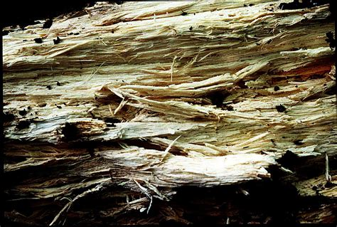 white fungus on wood picture 18