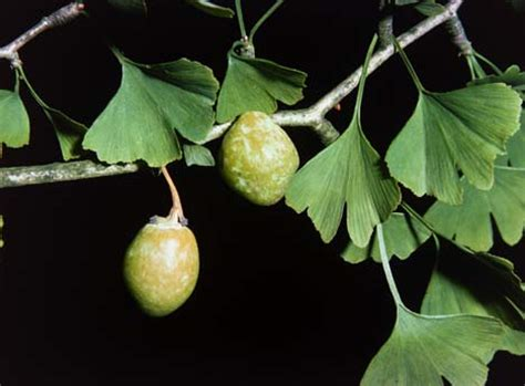 truth about ginkgo picture 7