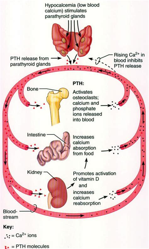 calcium and thyroid glands picture 5