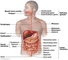 where is the human liver located picture 10