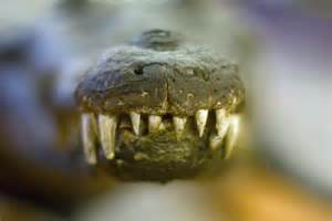 number of teeth alligators have picture 3