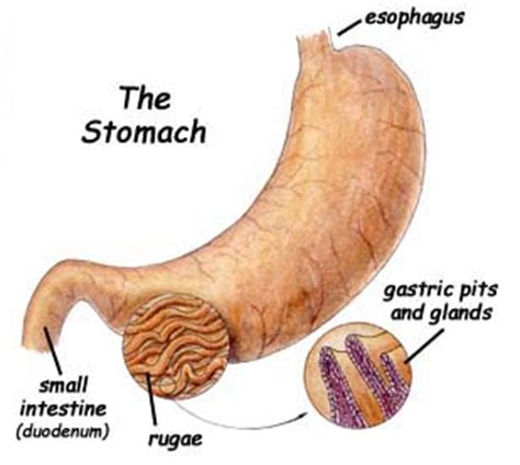 digestive juices in the stomach picture 5