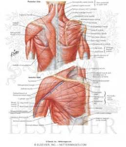 diagram of body muscle picture 5