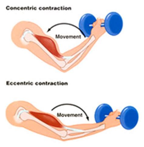and isotonic muscle contraction picture 11