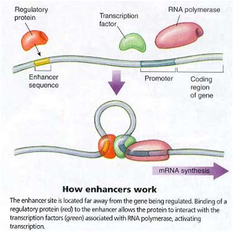 enhancer picture 2