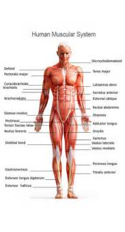 how the muscle system works picture 13