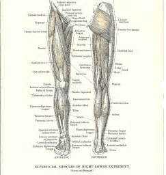 leg muscle illustration picture 15