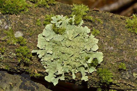 lichen pl fungi picture 15