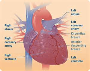 how thick can your heart muscle become picture 6