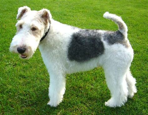 wire hair fox terriers picture 11