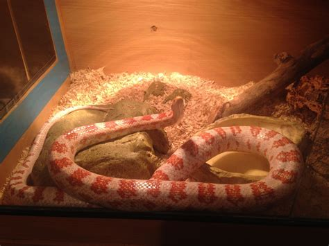 corn snake h picture 14