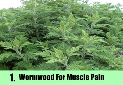 wormwood for pain relief picture 1