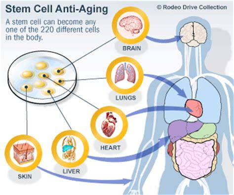 anti aging - cell reproduction picture 1