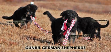 gunbil german shepherds complaints picture 2