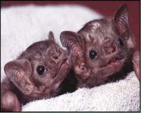 pictures of vampire bats sleeping picture 13