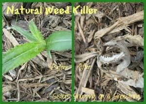 natural dandelion killer picture 3