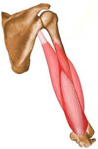 origen and insertion of a muscle definition picture 6