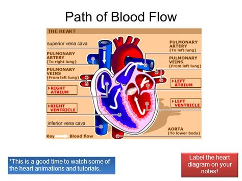 free blood flow animations picture 6