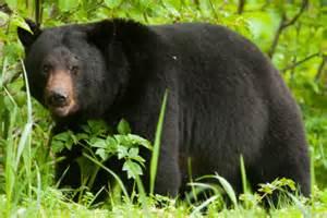 Black bear herbal picture 14