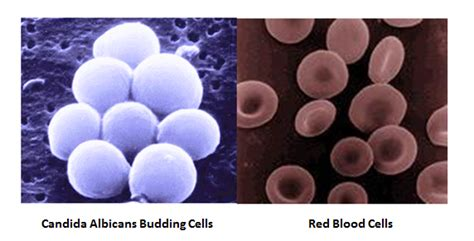yeast in the blood picture 18