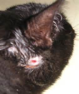 feline hyperthyroidism hair loss picture 18