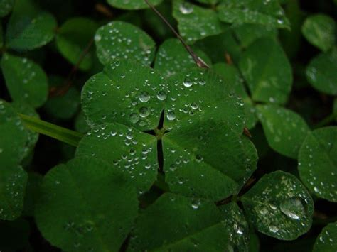 clover picture 8