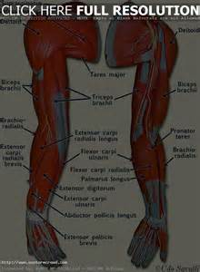 human muscle diagram picture 13