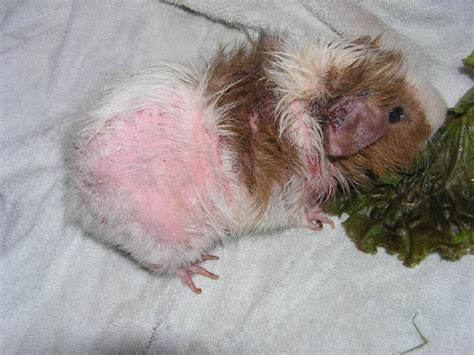 skin condition in lactating guinea pig picture 9