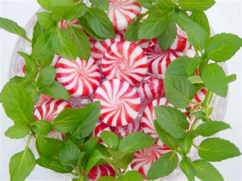 peppermint leaf and libido picture 5