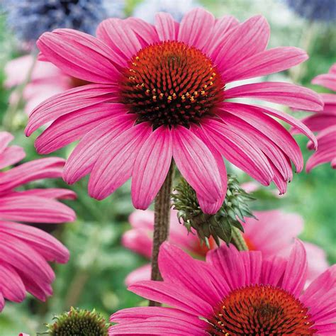 herbal medicine echinacea picture 7