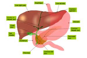 where does digestion occur in the liver picture 1